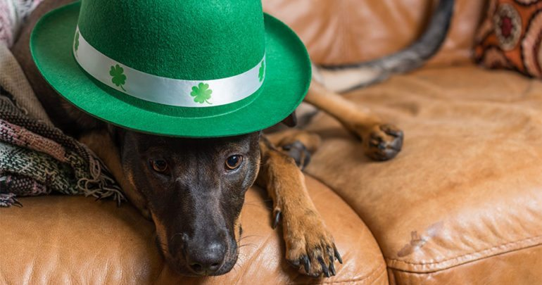 Cute black rescued dog wearing St Patricks day hat