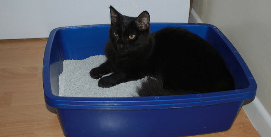 cat in litter box