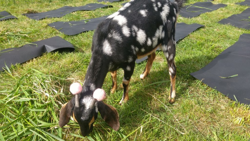 goat with tennis balls on horns
