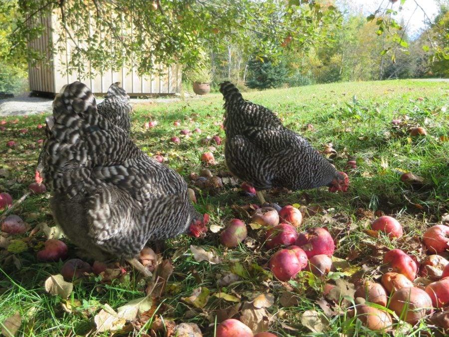 chickens make gardening better