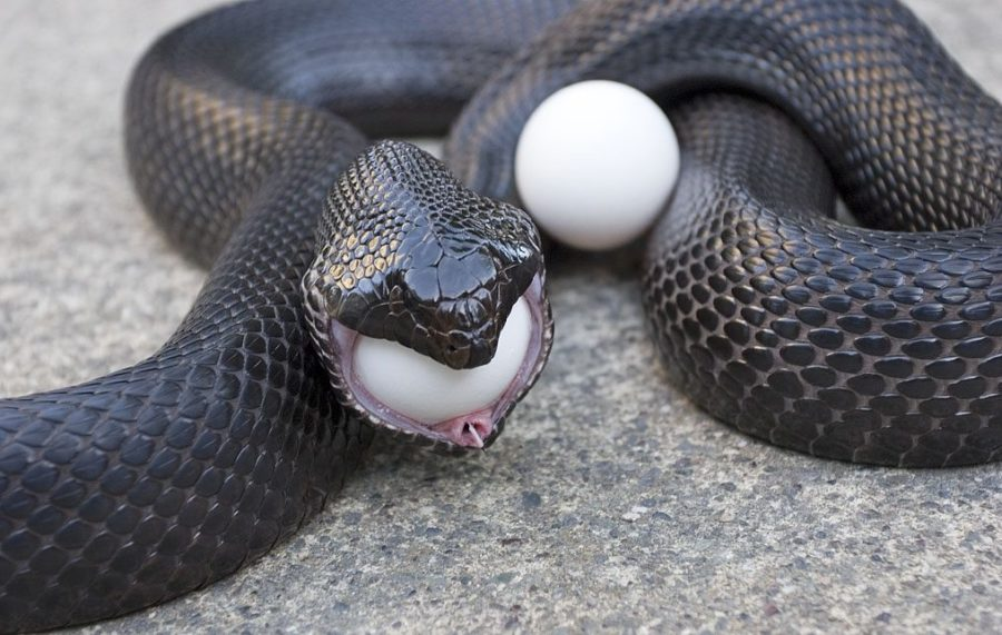 keep snakes out of chicken coop