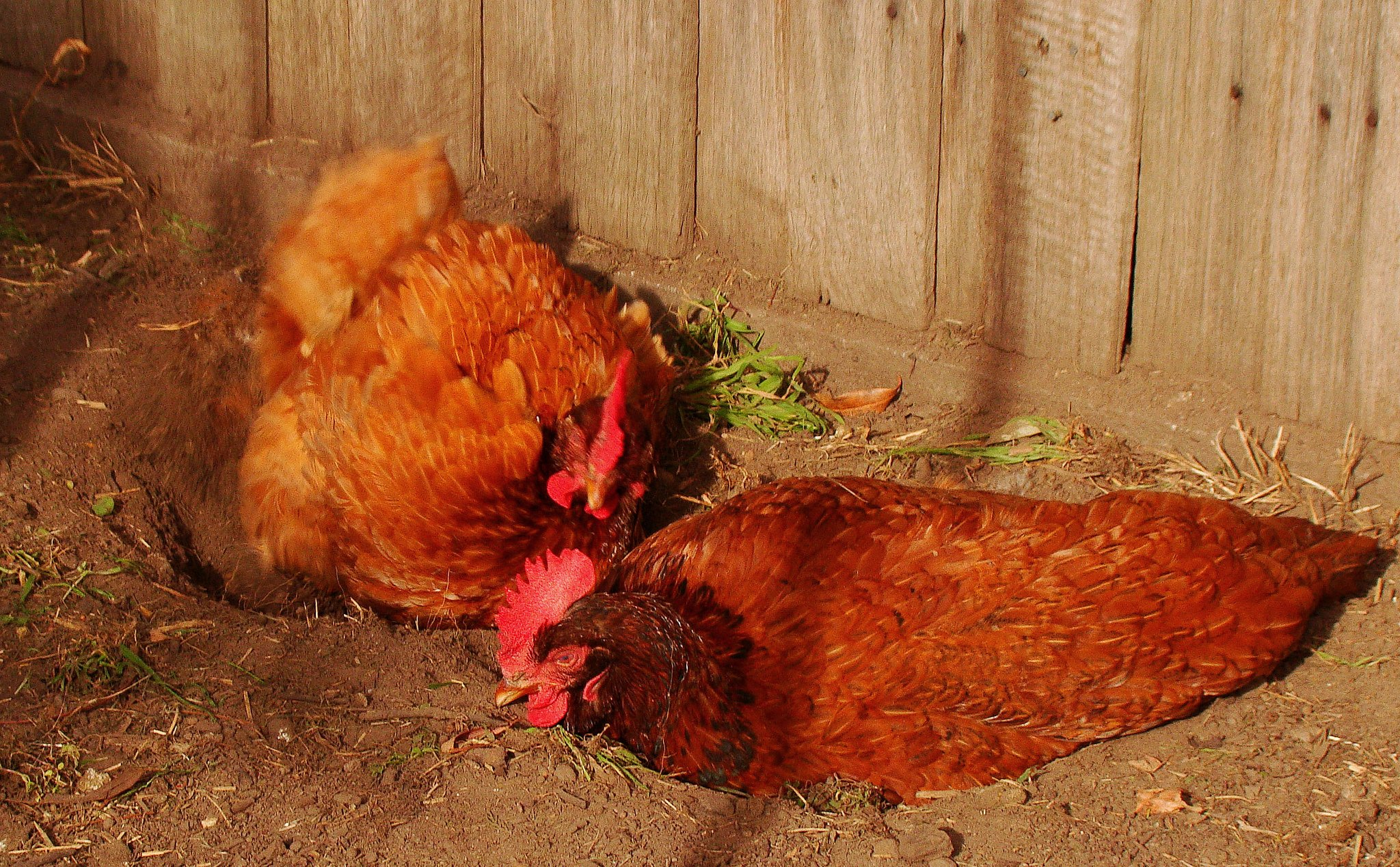 Dust Bath for Chickens: DIY Options for Your Coop