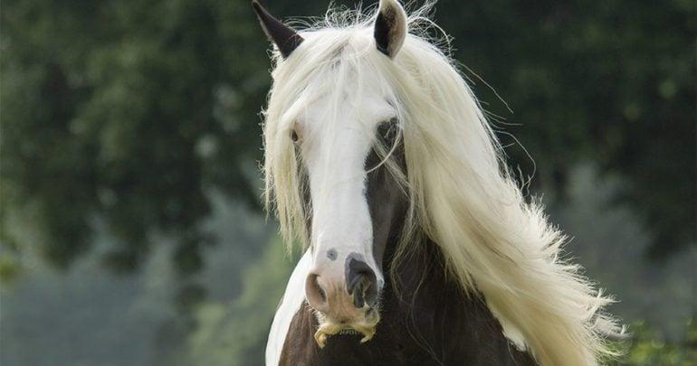 irish cob horses