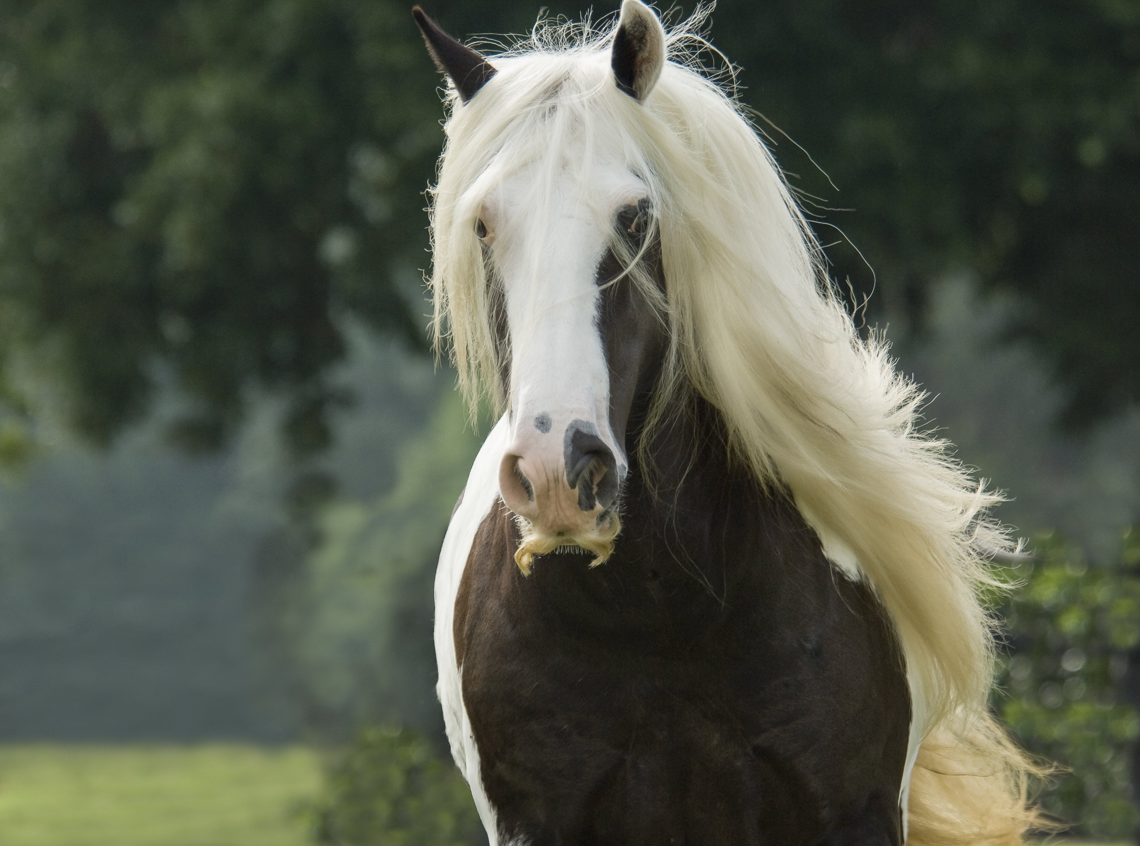 Gypsy Vanner Horse mare sporting extreme mustache