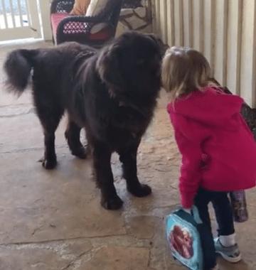 little girl kisses newfoundland