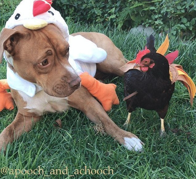 chicken and dog halloween costumes
