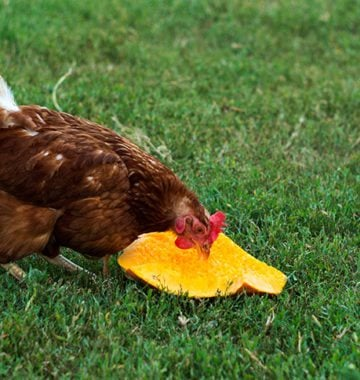 chicken eating pumpkin