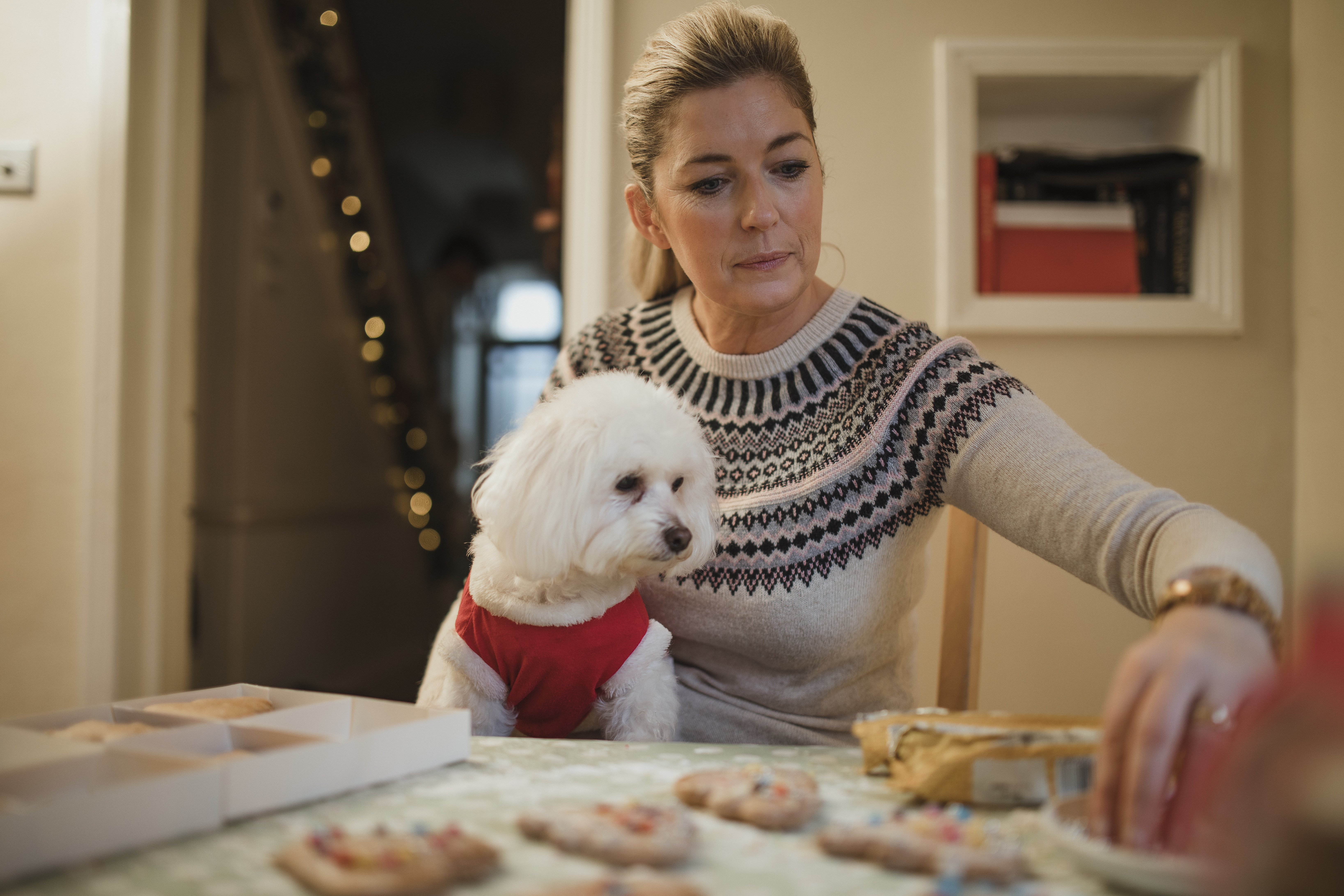 Mature woman is decorating homemade christmas cookies in the kitchen of her home. Her pet dog is sitting on her knee wearing a christmas jumper.