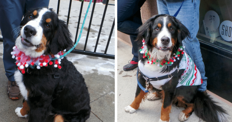 Bernese Mountain Dog Holiday Dog Parade