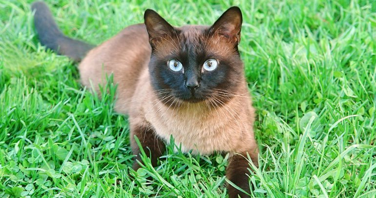 Cute siamese cat on a summer green grass