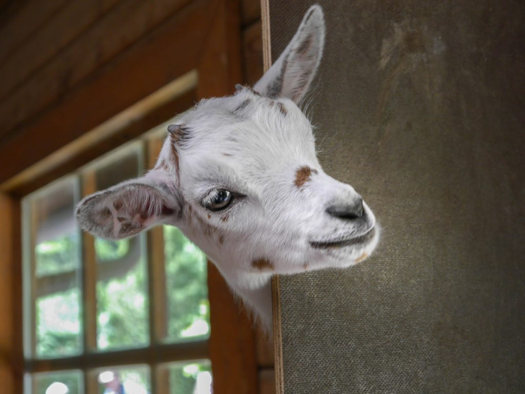goat peeking around corner