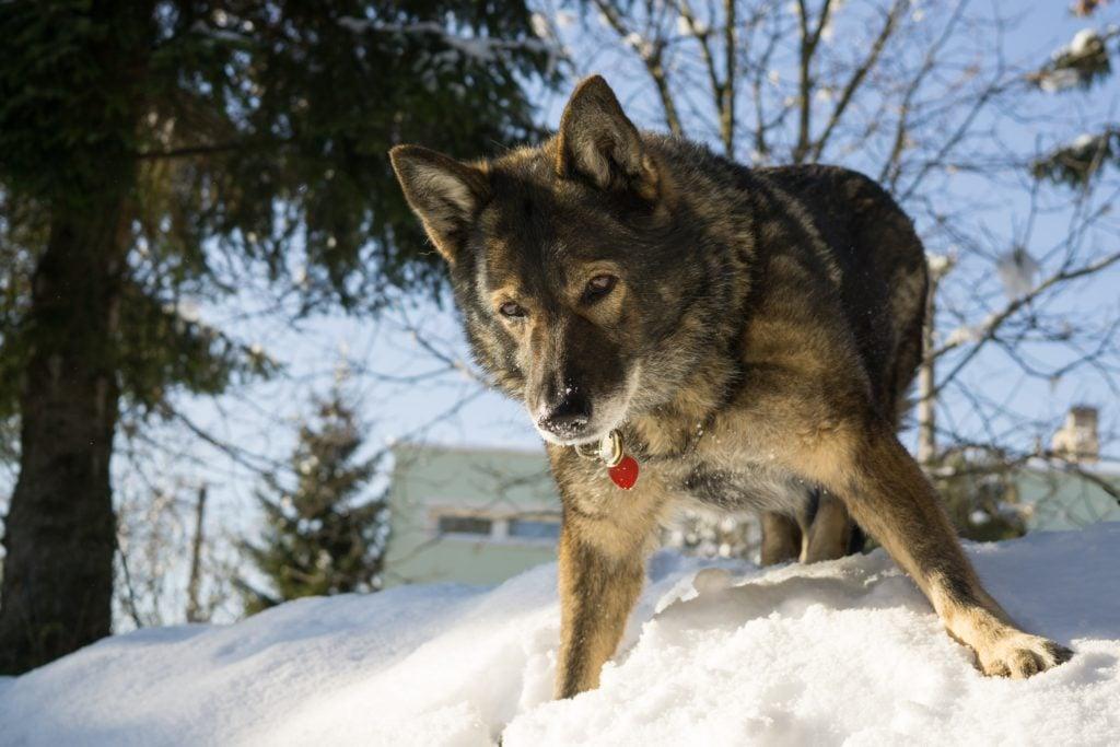 Dog enjoying the snow during winter. Slovakia