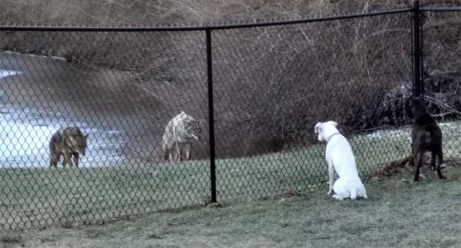 ENTERTAINMENT NEWS VIDEOS BREEDS MEDICAL HOMESTEAD Neighbor Looks out Window to See Dogs Face to Face with Huge Coyotes