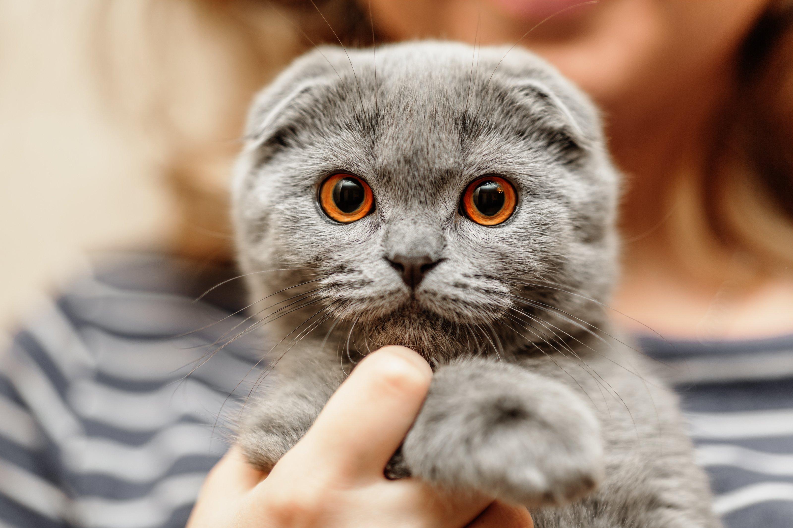 Portrait of a scottish fold breed blue cat
