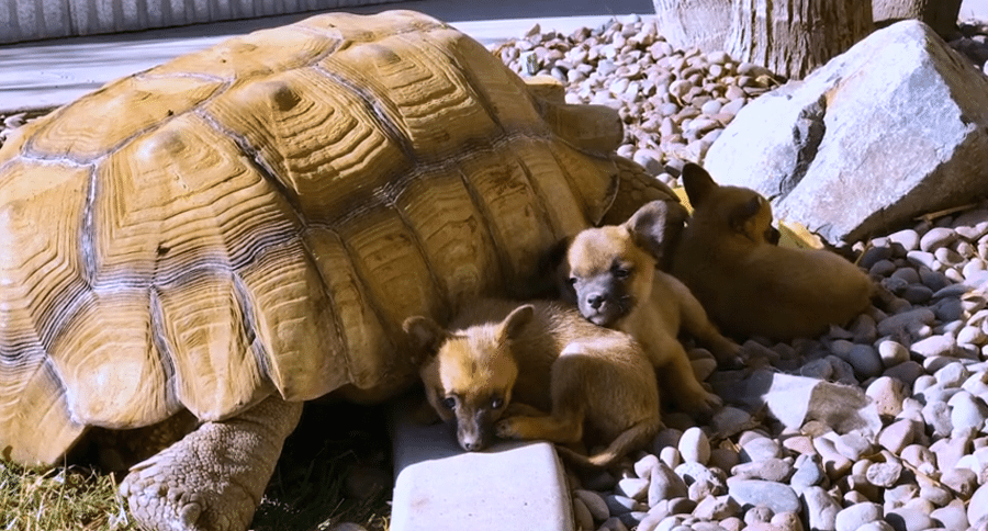 puppies and tortoise are friends