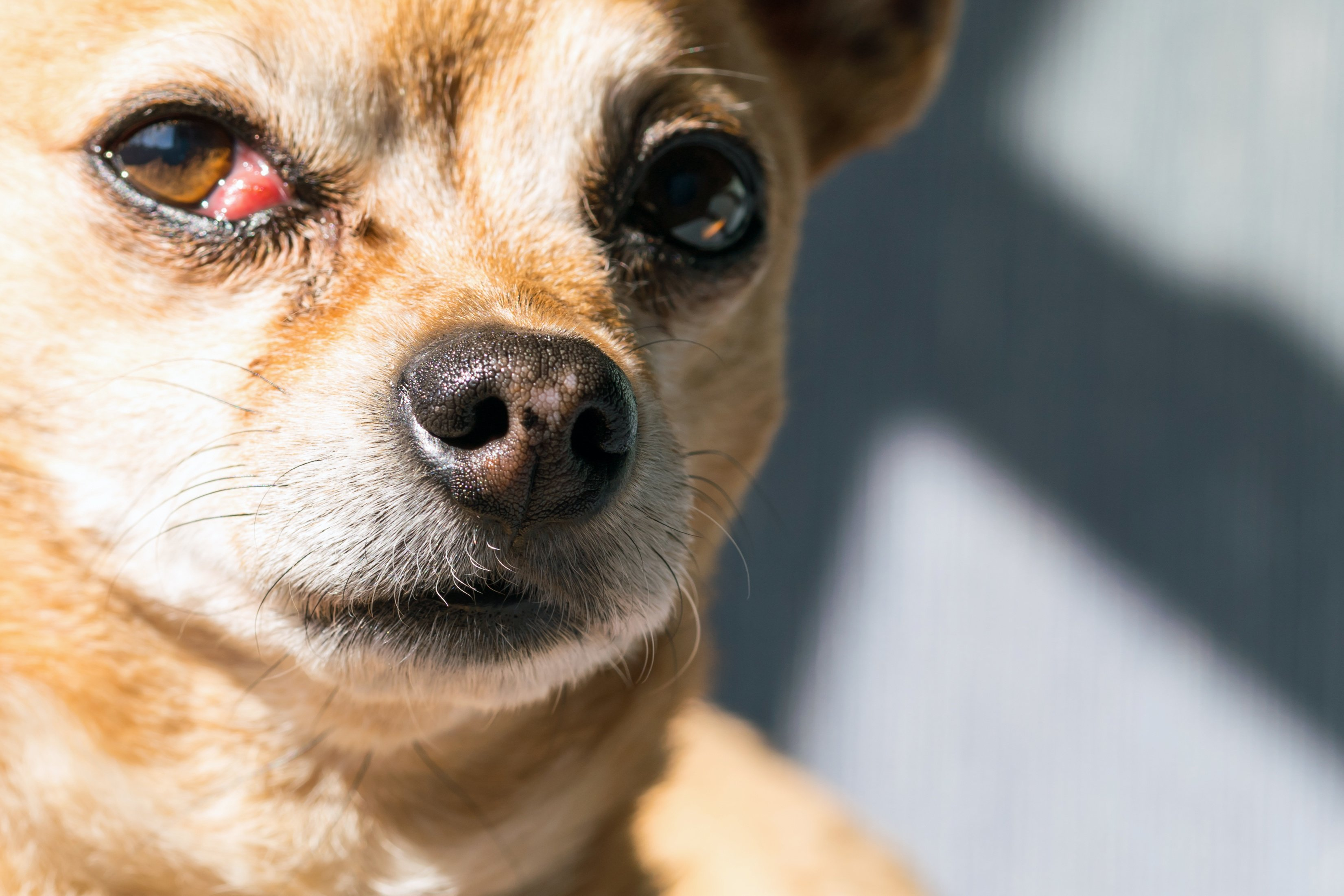 Cherry Eye Dog Treatment