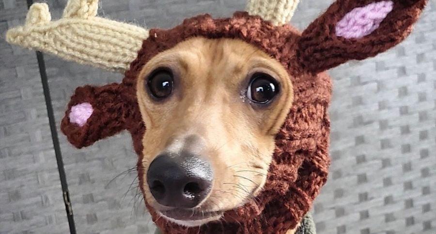 dog reindeer