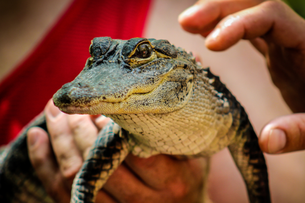 Alligator being held at a park.