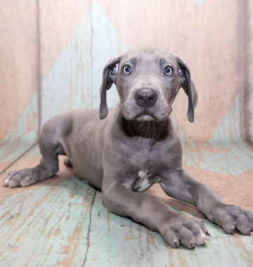 Great dane puppy sits for the camera.