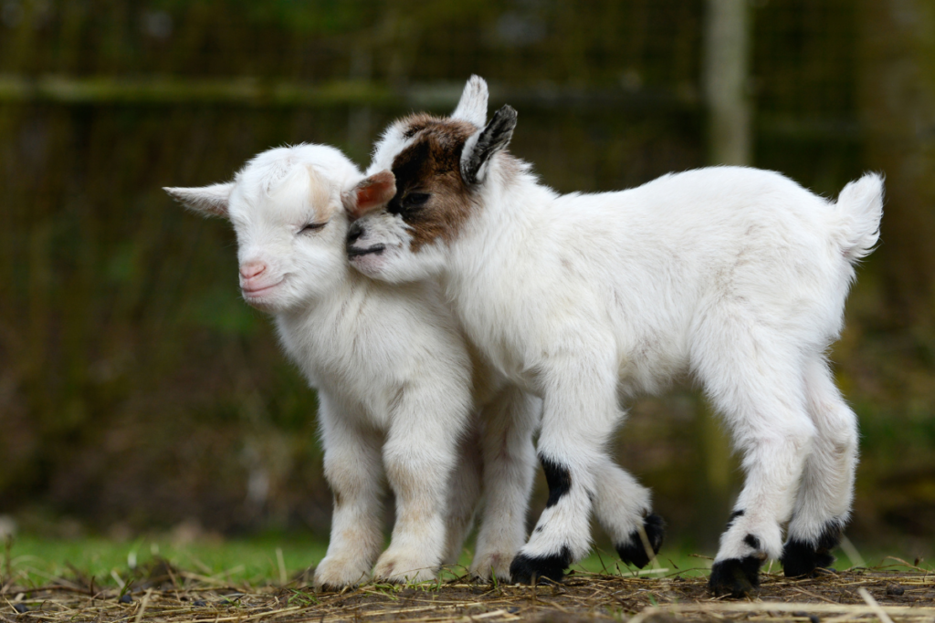 Baby goats play in their yard.